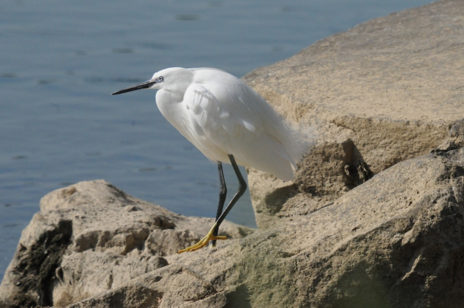 Aigrette © SMIRIL