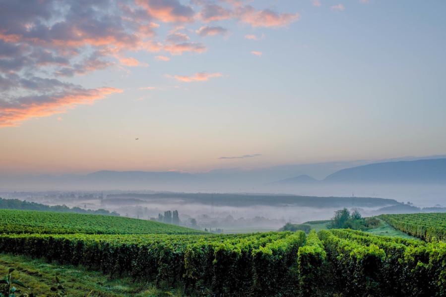Brume sur les vignes Satigny Mandement © geneveterroir