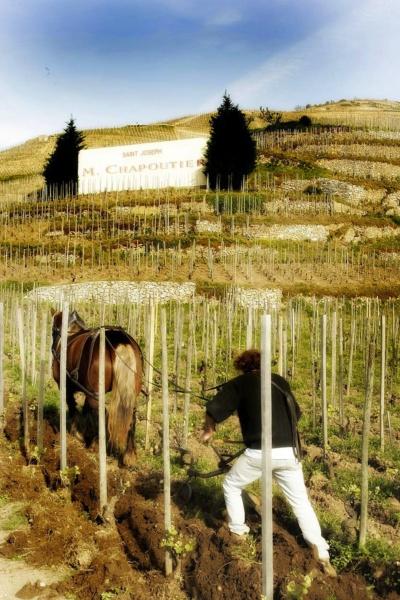 Cheval au travail dans les vignes à St-Joseph©Maison M.CHAPOUTIER