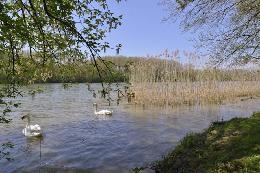 Cygnes sur la Saône © Philippe Hervouet