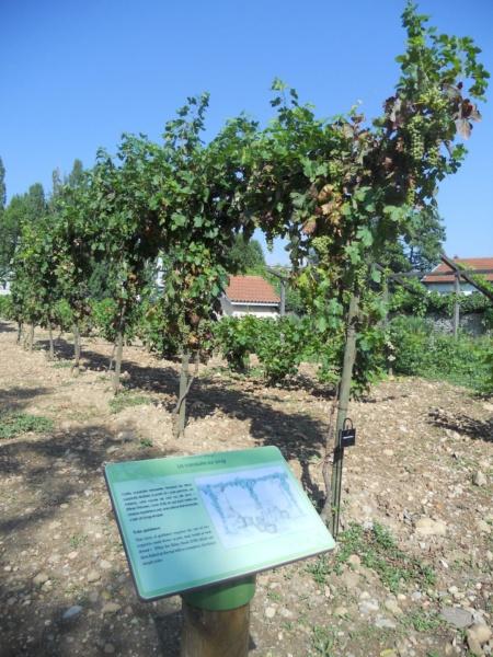 Domaine des Allobroge vignoble reconstitue à la romaine conduite sur joug de la vigne © Patrick Ageneau Musee et sites gallo romains de Saint Romain en Gal Vienne