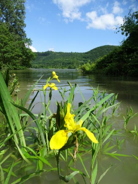 Iris en bord de Rhone © Jean Louis Michelot