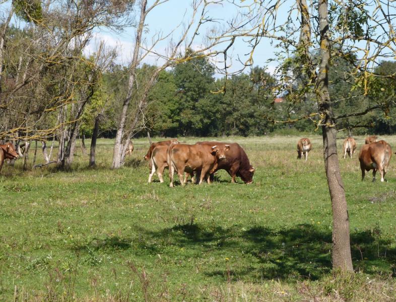 Pâturage de vaches Limousines au Marais de Boistray © Conservatoire des Espaces Naturels RA