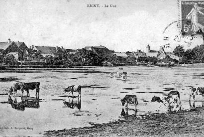 Vaches traversant a gue a Rigny © DR Louis Bonnamour